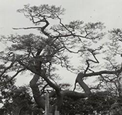 上本郷の富士見の松の